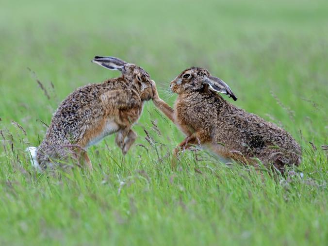 #العيّنة_بيّنة (11) هل الارنب يجتر؟ إجترار الأرنب - قراءة علمية لشريعة يهودية